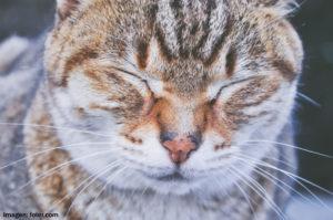 Fotografía gato concentrado en sí mismo